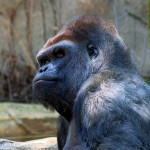 Matumaini without his cigarette.(Photo by Kabir Bakie at the Cincinnati Zoo September 11, 2005 http://commons.wikimedia.org/wiki/File:Gorilla_2582.jpg)
